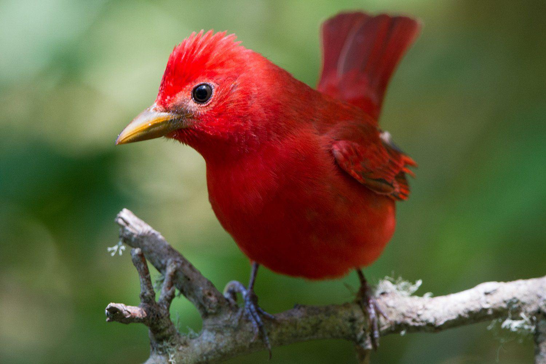 Красная птичка картинки